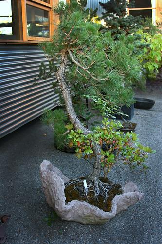 12_bonsai_3