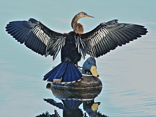 Anhinga on Decoy 20140822