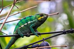 Gecko lizard at Paris Zoo