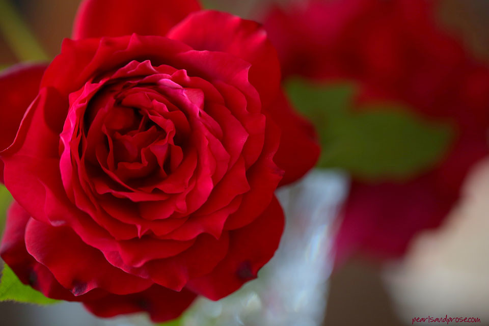 red_rose_web