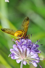 HOVERFLY (Volucella inanis) FEMALE ON FIELD SCABIOUS