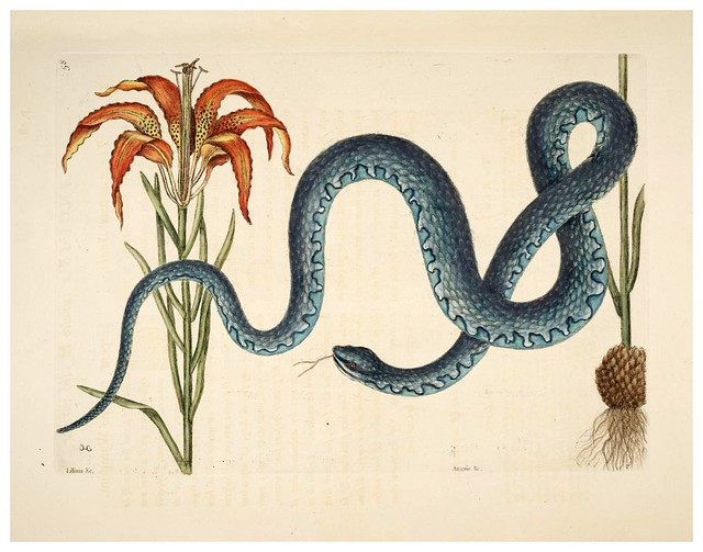 020- La serpiente wampus-Natural History of Carolina, Florida and the Bahama Islands-Vol2-1754