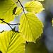 Lit leaves.