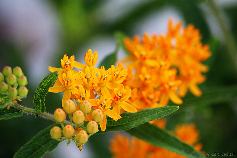 IMG_0039ButterflyWeed