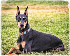 dog breed, animal, dog, german pinscher, manchester terrier, dobermann, pet, mammal, vulnerable native breeds, guard dog, pinscher, toy manchester terrier,