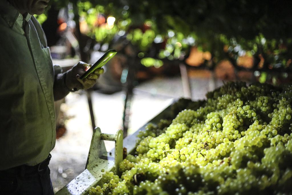 2014 Chardonnay Harvest
