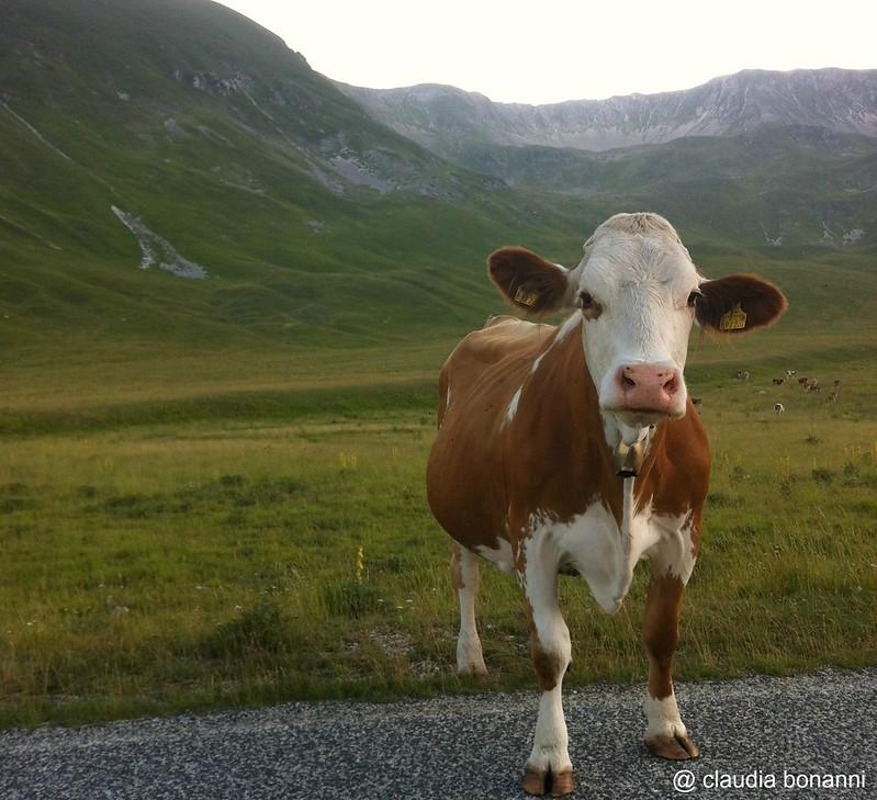 la mucca sulla strada