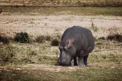Hippo grazing at iSimangaliso