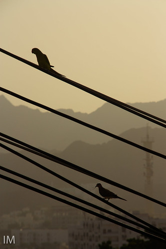 birds sunrise silhoutte muscatbirds