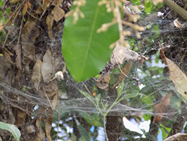 An aggregation of spiders.  These webs took up about a square foot.  (Photo Credit: Eric Becker)