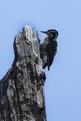 American Three-toed Woodpecker - Sisters - Oregon_S4E8487
