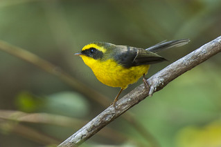 Yellow-bellied Fantail - Corbett NP - India_2149