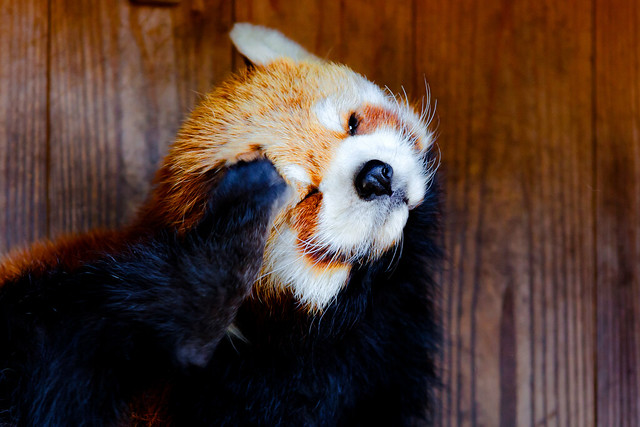 Kinta, Femal Red Panda of Nogeyama Zoo : レッサーパンダのキンタ(野毛山動物園)