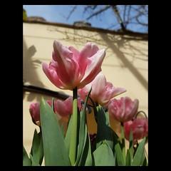 Guardando il cielo...  Nascono bianchi, piccoli, ma bisogna aspettare. Hanno i loro tempi, ma poi, regalano bellezza. #foxtrot #tulips:tulip:  #spring #nstaflower