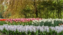 Le Parc Floral de Keukenhof - ( Pays-Bas)