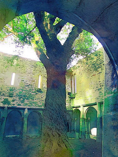 Giant tree in the middle of Muckross Abbey in Killarney National Park in Ireland run though the photo app Sketch Guru