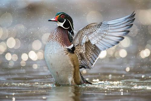 flapping bokeh duck wings wildlife wissahickon woodduck nature bird chestnuthill valleygreen spring drake wissahickoncreek aixsponsa fairmountpark philadelphia pennsylvania unitedstates us nikon d800e