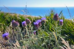 Fleurs sur la côte Atlantique marocaine