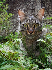 animal, tabby cat, small to medium-sized cats, mammal, fauna, cat, rusty-spotted cat, wild cat, whiskers, wildlife,