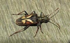 Two-banded Longhorn Beetle - Rhagium bifasciatum