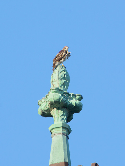 Cathedral Hawk Fledgling - 3197