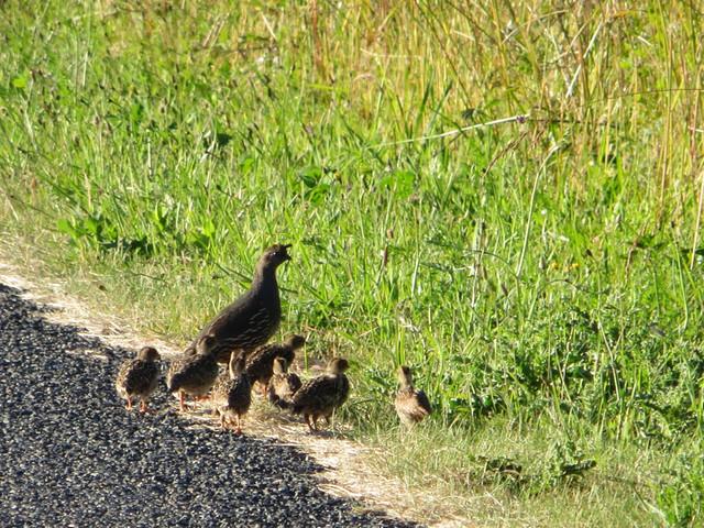 quail crossing