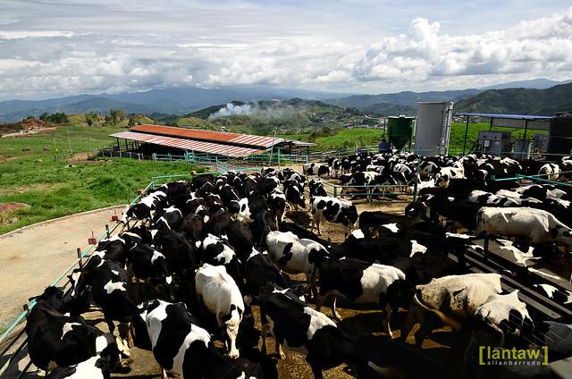 Desa Cattle