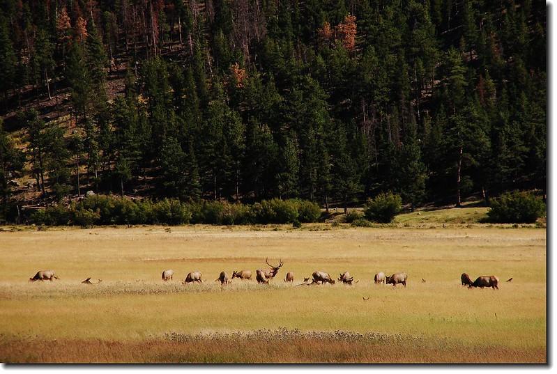 Elks in Moraine Park 7