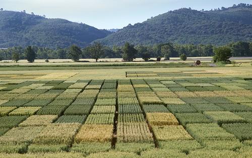 Damier de paysan -  Checkerboard of farmer