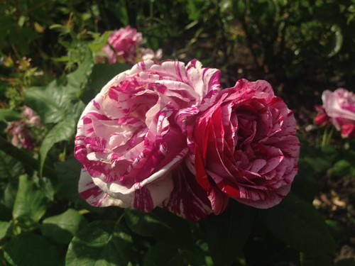Midsummers day roses