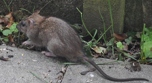 Cute or brute...?  Brown Rat