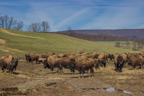 us buffalo unitedstates pennsylvania bison lincolnhighway bedfordcounty thebisoncorral napiertwp