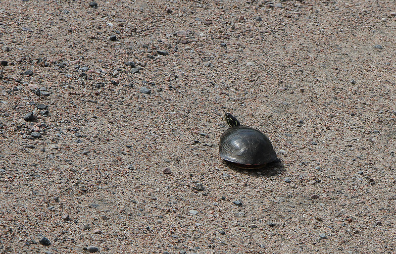 painted turtle crossing road