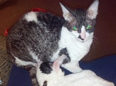 Kat, Rescue Cornish Rex in Michigan