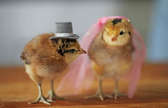 Top-10-Baby-Chicks-in-Hats-6