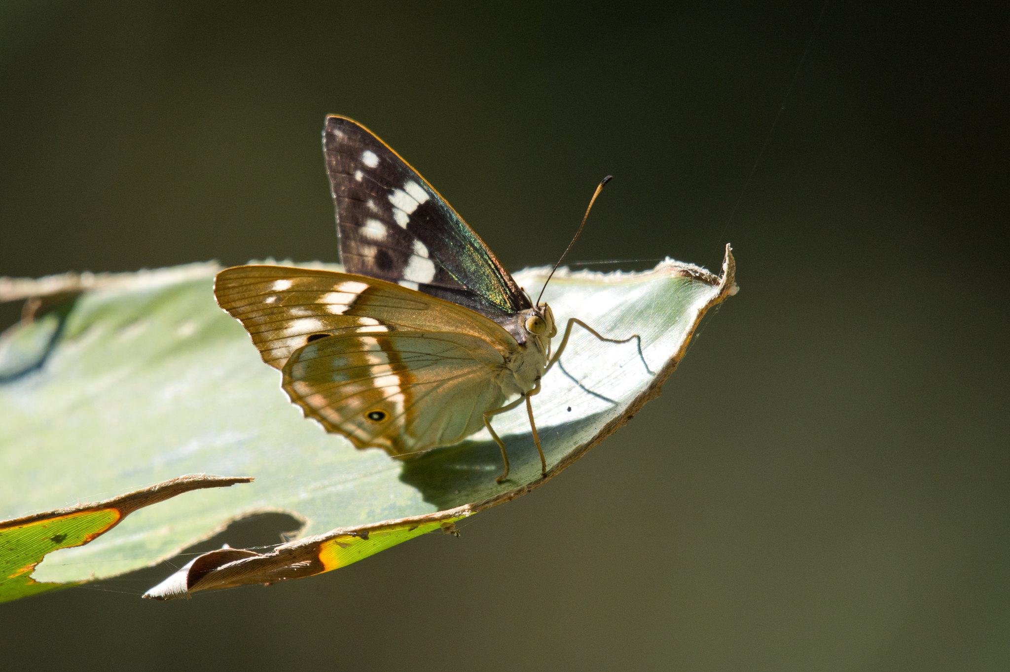 台灣小紫蛺蝶