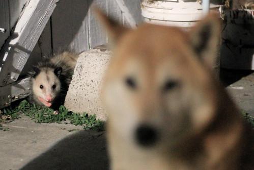 Bowdu and possum