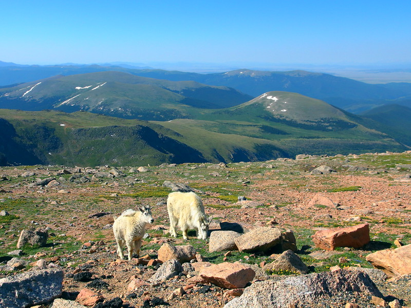 IMG_4641 Mountain Goat on Mount Evans, Arapaho National Forest