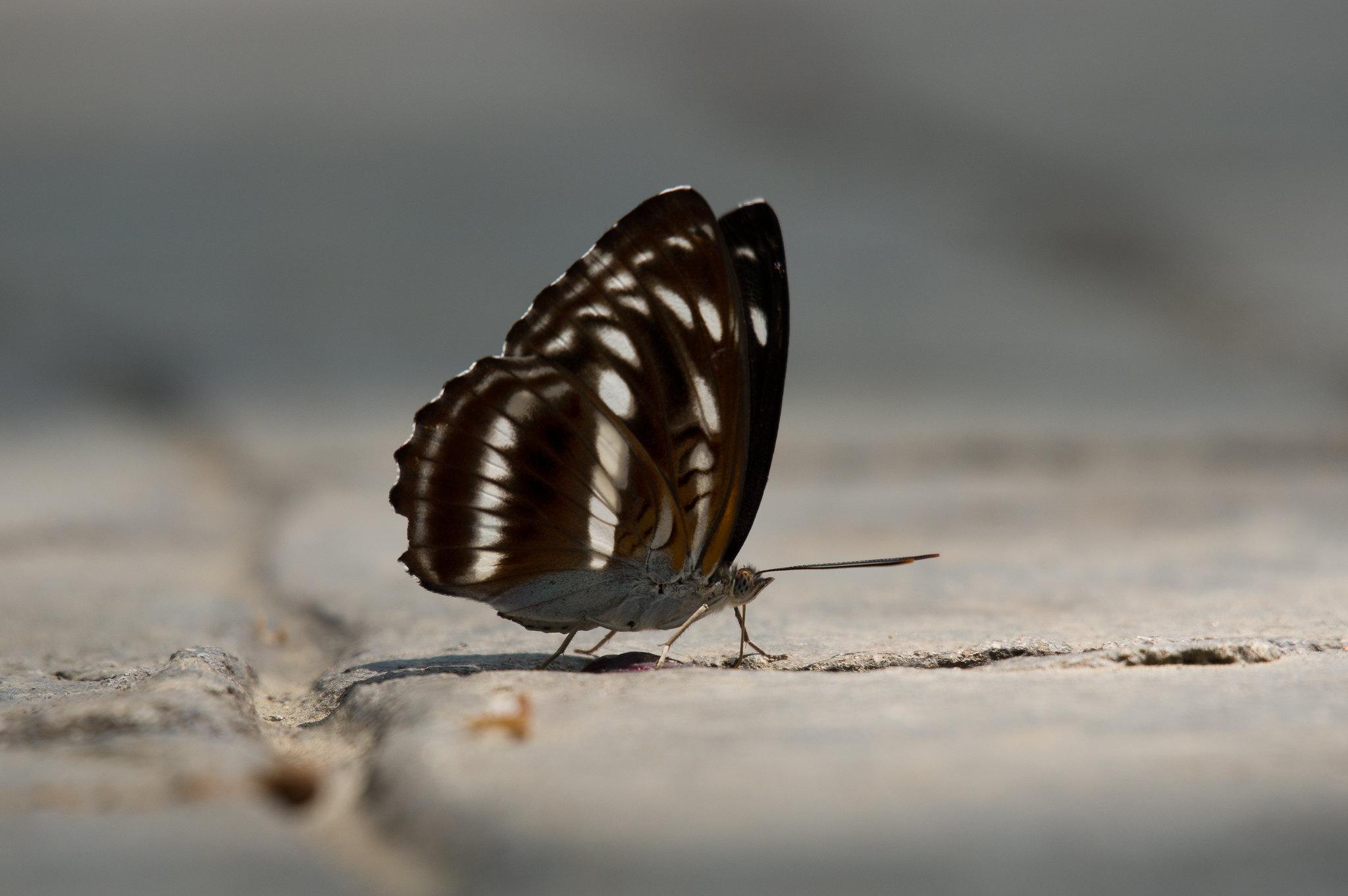 琉球三線蝶之順光逆光