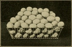 "Image from page 36 of ""Mrs. Basley's poultry book; tells you what to do and how to do it; the chicken business from first to last including 1001 questions and answers, relative to up-to-date poultry culture"" (1908)"