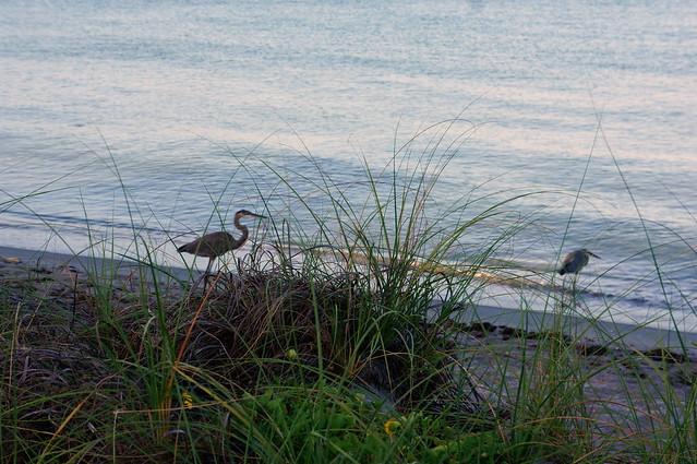 great blue heron antics