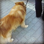 Very fluffy red doggie paparazzi