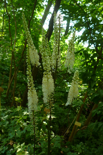 Header of Actaea racemosa