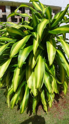 Asparagaceae.Dracaena fragrans 'massangeana'