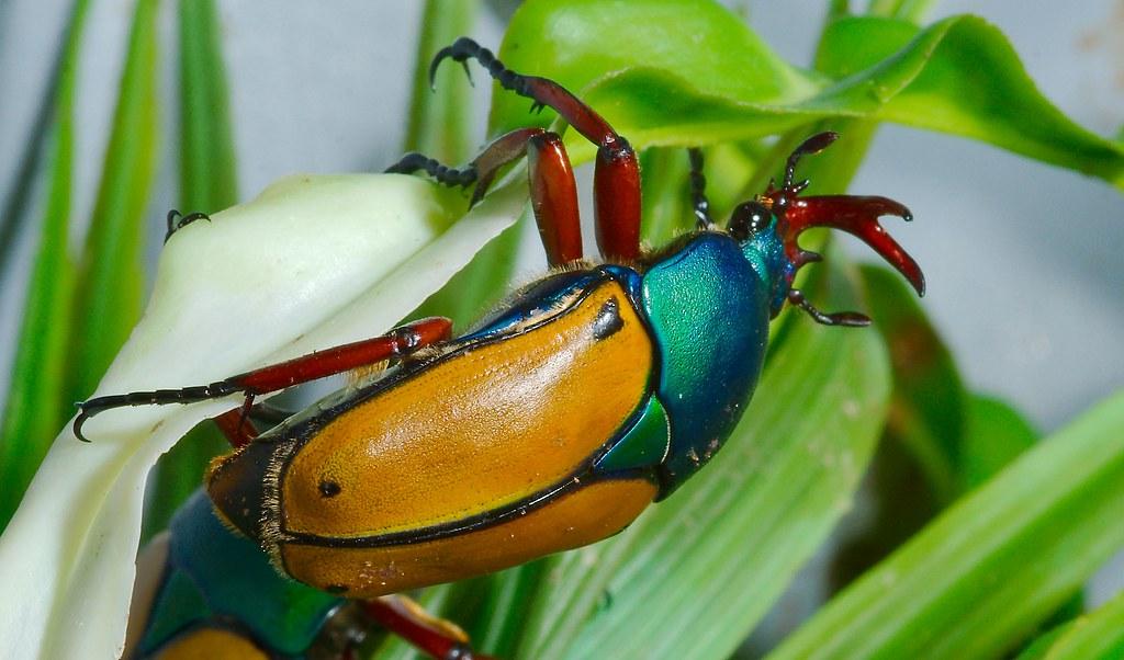 Jade Headed Buffalo Beetle (Eudicella smithi)_1