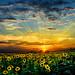 Sunsetflowers by Nelofee-Foto