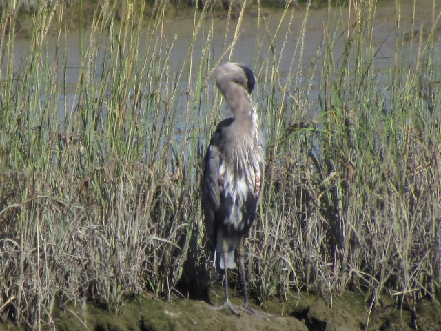 Great Blue Heron1 8:24:14