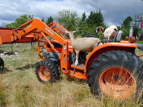 Shearing Alpacas