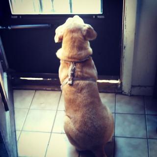 Waiting, waiting, waiting... #dogstagram #instadog #rescued #houndmix #adoptdontshop #love #ilovemydogs #ilovebigmutts #mutt #mybaby