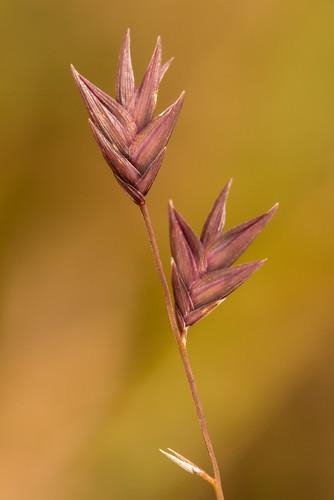 native poaceae monocots chasmanthiumnitidum shinyspanglegrass shinywoodoats uniolanitida